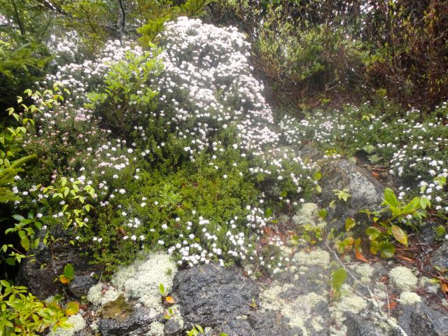 stone-crop-flower
